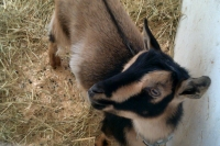 From the Field: Tiny Miniature Goat Sounds Included
